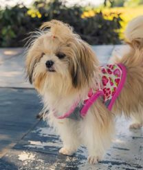 Seven Accessories to Purchase for a Shih Tzu Puppy