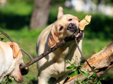 Nutritional requirements for mature dogs