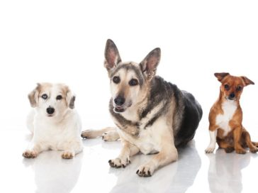 Top six dog breeds that are most prone to accidents