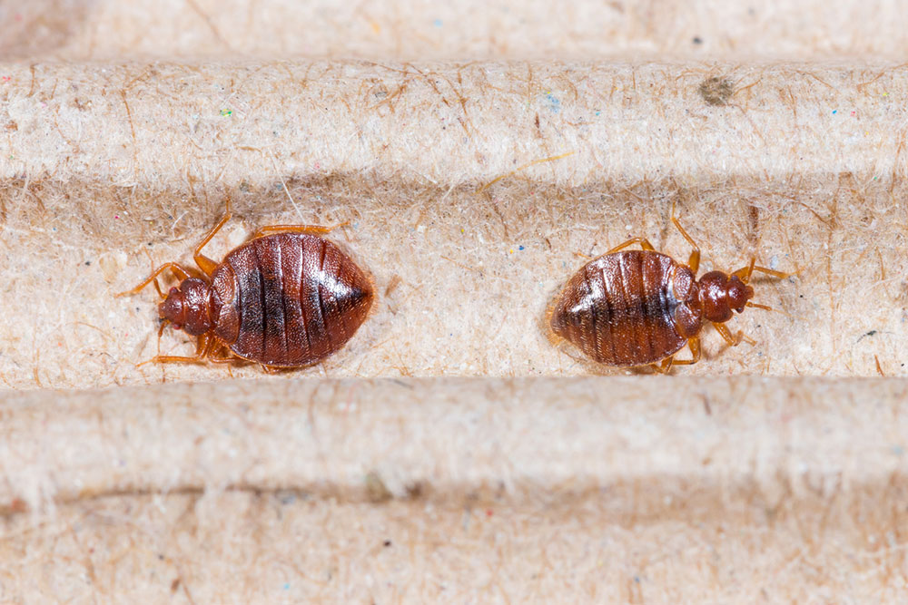 Bed Bug Bites – Symptoms and Treatment Options
