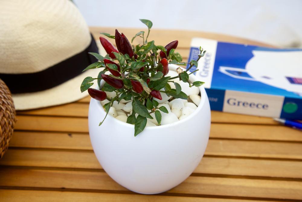 chili indoor plant