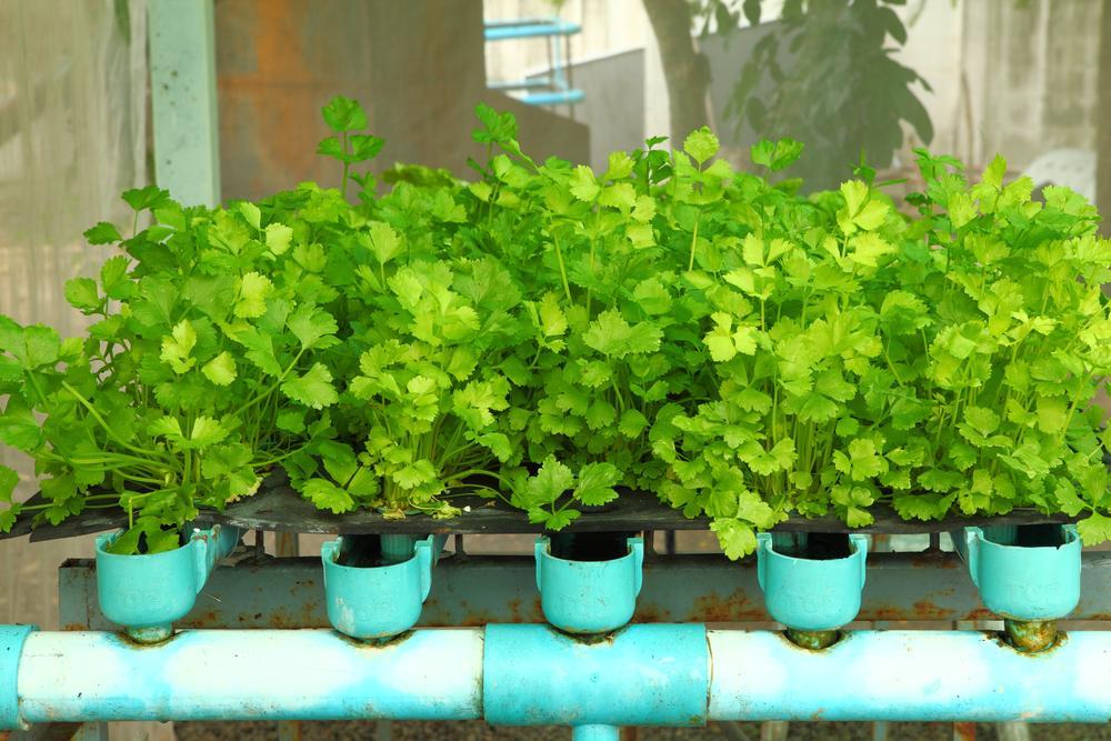 coriander indoor plant